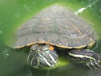 Turtle pet close-up