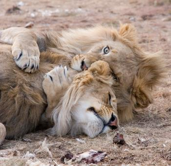 Two Brown Lions Lying on Grass