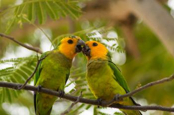Two Caribbean Parakeets