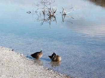 Two ducks by the lake