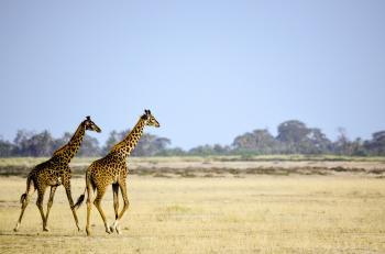 Two Giraffe Animal on Brown Grass Field