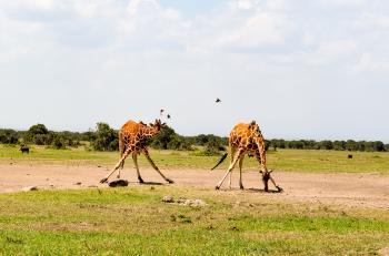 Two Giraffe on Green Grass