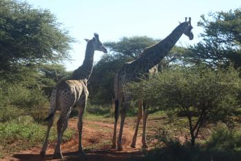 Two Giraffes Standing Near Trees