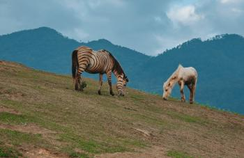 Two Horses Eating Grass on Green Hill