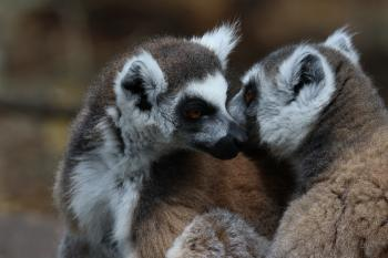 Two Lemurs