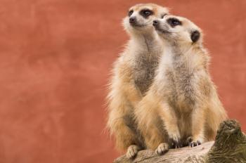 Two Meerkats on a Tree Trunk