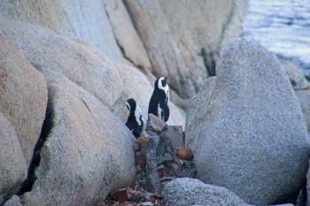 Two penguins in the rocks