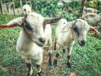 Two White Goat Kids
