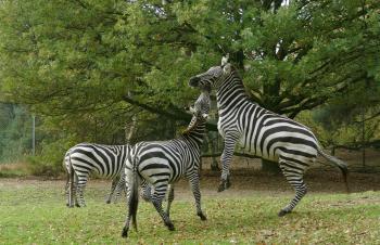 Vechtende zebra s