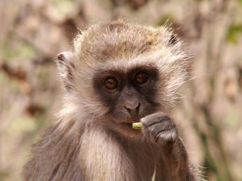 Vervet Monkey - A Portrait