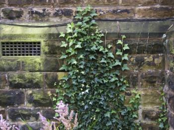 Vine Ivy on church wall