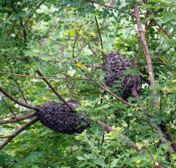 Wasp Nests