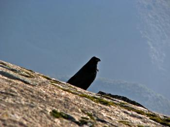 Watchful Crow