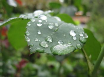 Water drops on a rose leaf