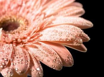 Water drops on daisy