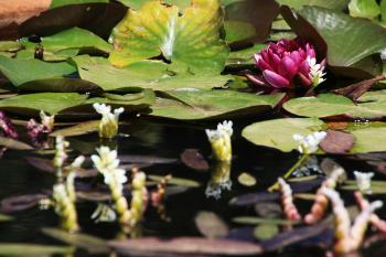 Water lilies blooming in a pond