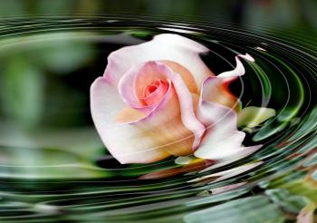 Water ripples. Rose