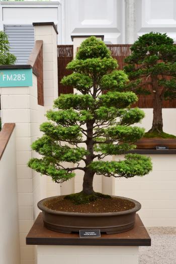 Western hemlock bonsai