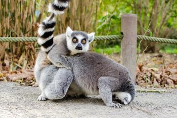 What? (Ring-tailed lemur)