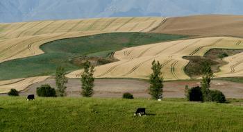 Wheat fields. New Zealand.