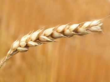 Wheat Grains Closeup Photography