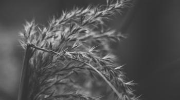 Wheat Stalk