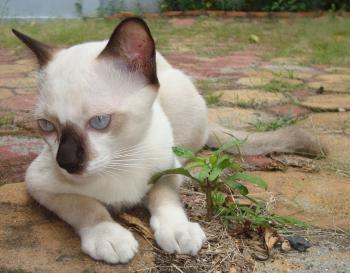 White and Black Burmese Cat