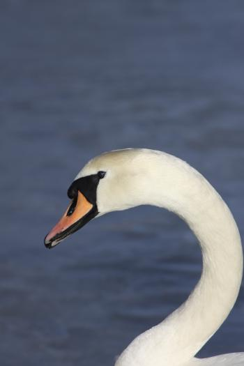 White and Black Swan Near Blue Water