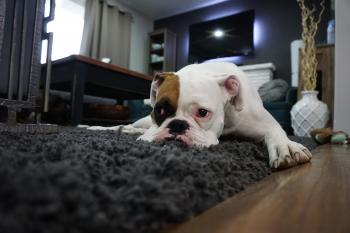 White and Tan English Bulldog Lying on Black Rug