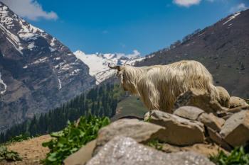White Animal on Cliff at Daytime