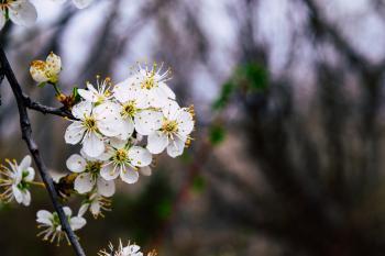 White blossom flower on the branch