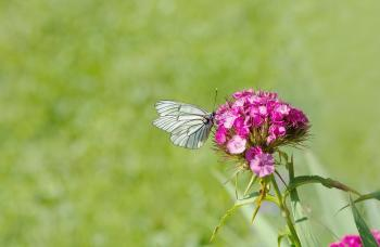 White Brown Butterfly Perched on Pink Flower