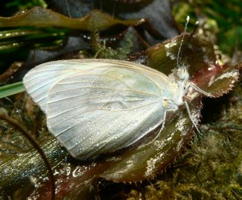 White butterfly with dew drops