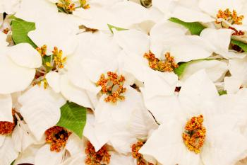 White Christmas flowers