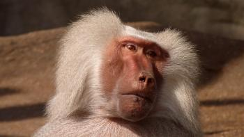 White Hairy Monkey