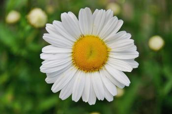 White Daisy Flower in Focus Photography