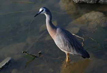 White faced heron.