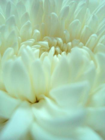 White Flower Close-Up