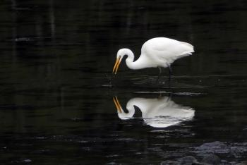 White Heron NZ.( Egretta alba modesta)