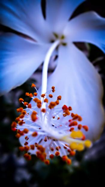 White Hibiscus Flower in Macro Shot Photography
