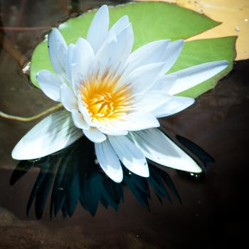 White lily floating
