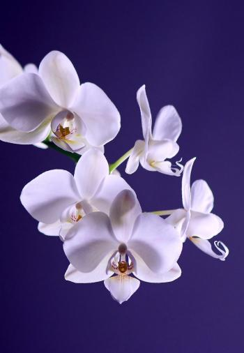 White Moth Orchid in Close Up Photography during Daytime