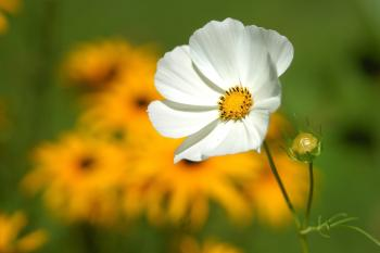 White Petaled Flower Near Yellow Petaled Flower