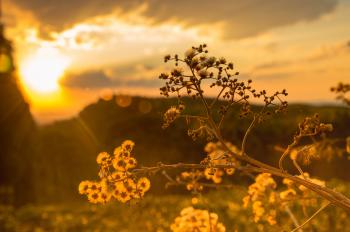 White Petaled Flowers at Golden Hour