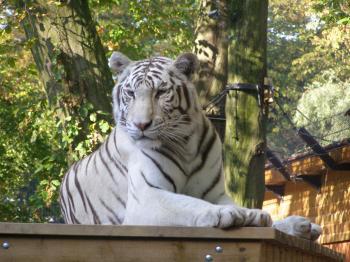 White Tiger Resting