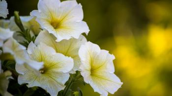 White Yellow Flowers