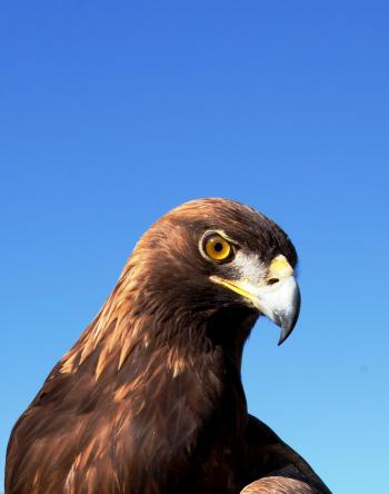 Wild Adler