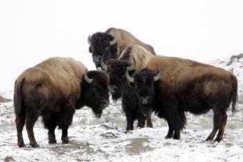 Wild Bisons