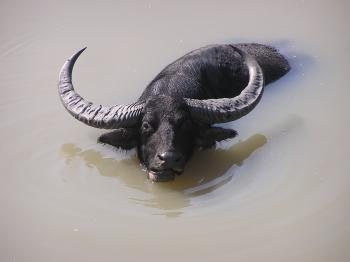 Wild Buffalo enjoy bathing