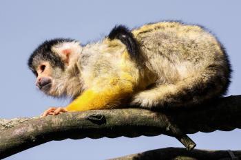 Wild Capuchin